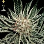Greenhouse Seed Co. El Nino Feminised Seeds