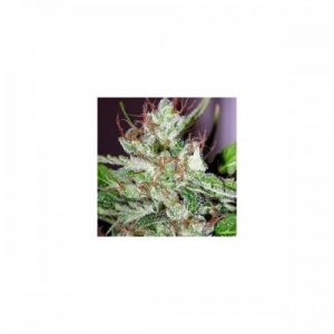 Nirvana Seeds Eldorado Regular Seeds