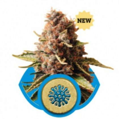 Royal Queen Seeds Euphoria Feminised Seeds