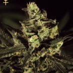 Greenhouse Seed Co. Exodus Cheese Feminised Seeds