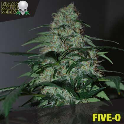 FIVE-O FEMALE