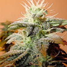Female Seeds Indoor Mix Feminised Seeds