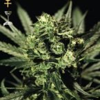 Greenhouse Seed Co. Cheese Feminised Seeds