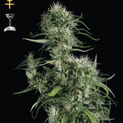 Greenhouse Seed Co. Neville's Haze Feminised Seeds