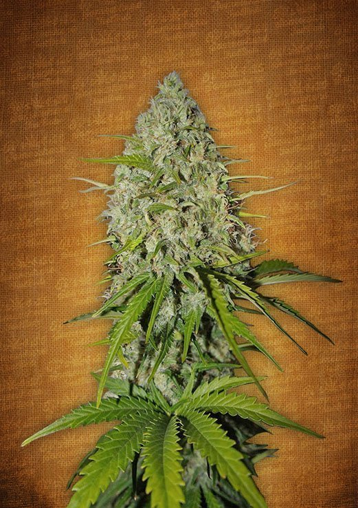 Fast Buds Grapefruit-matic feminised seeds