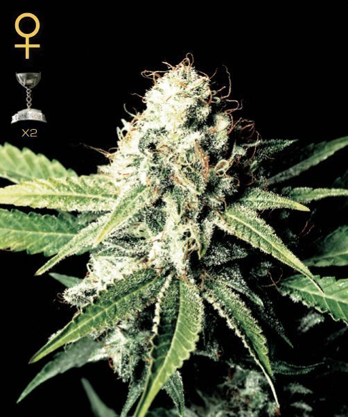 Greenhouse Seed Co. Great White Shark Feminised Seeds