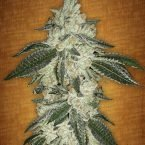 Fast Buds Green Crack feminised seeds