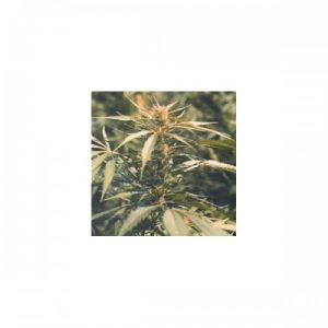 Nirvana Seeds Hawaii Maui Waui Regular Seeds