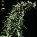 Greenhouse Seed Co. Hawaiian Snow Feminised Seeds