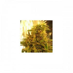 Nirvana Seeds Haze #13 Regular Seeds