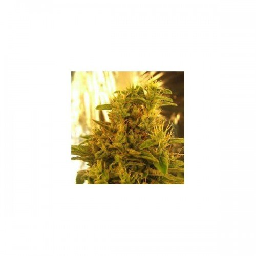 Nirvana Seeds Haze #13 Regular Seeds