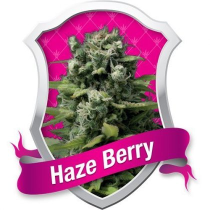 Royal Queen Seeds Haze Berry Feminised Seeds