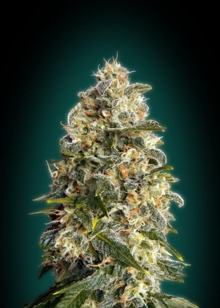 Advanced Seeds Heavy Bud Feminised seeds
