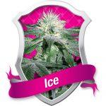 Ice Feminised Seeds