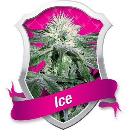 Royal Queen Seeds Ice Feminised Seeds
