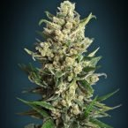 Advanced Seeds Ice Kush Feminised seeds