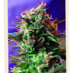 Sweet Seeds Jack 47 FAST Version Feminised Seeds