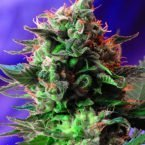 Sweet Seeds Jack 47 Feminised Seeds