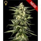 Greenhouse Seed Co. Jack Herer AUTO Feminised Seeds