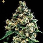 Greenhouse Seed Co. Jack Herer Feminised Seeds