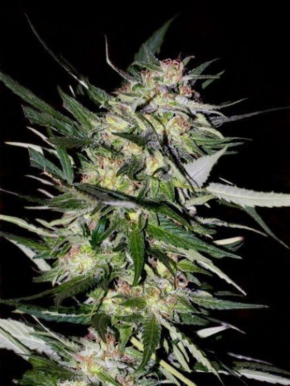 Advanced Seeds Jack Plant Feminised seeds