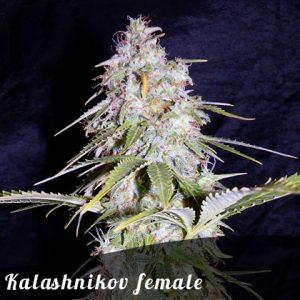 Bulk Seeds Kalashnikov female seeds