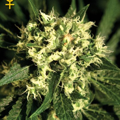 Greenhouse Seed Co. Kalashnikova Feminised Seeds