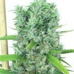 Serious Seeds Kali Mist regular seeds