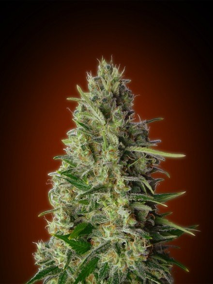 Advanced Seeds Kali 47 Feminised seeds