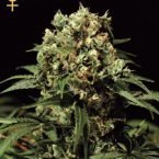 Greenhouse Seed Co. Kalashnikova AUTO Feminised Seeds
