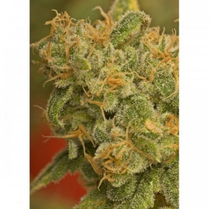 Nirvana Seeds Kaya Gold Regular Seeds