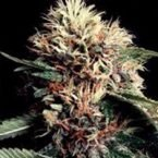 World of Seeds Ketama Feminised Seeds