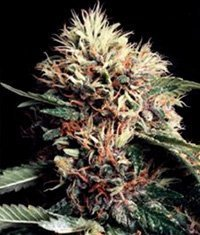 World of Seeds Ketama Regular Seeds