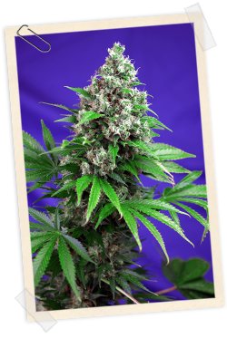 Sweet Seeds Killer Kush FAST Version Feminised Seeds
