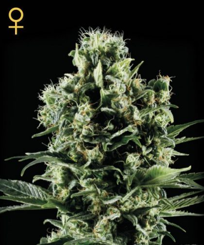 Greenhouse Seed Co. Himalayan Gold Feminised Seeds
