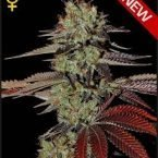 Greenhouse Seed Co. King's Kush AUTO Feminised Seeds
