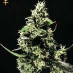 Greenhouse Seed Co. K-Train Feminised Seeds