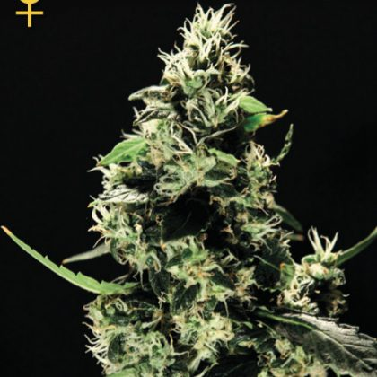 Greenhouse Seed Co. K-Train Feminised Seeds