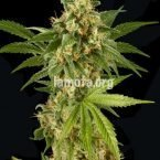 Dinafem Kush-N-Cheese Feminised Seeds