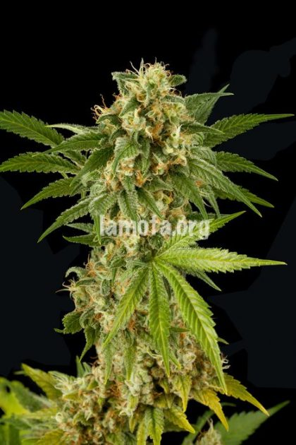 Dinafem Kush-N-Cheese Feminised Seeds
