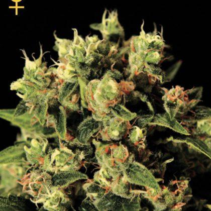 Greenhouse Seed Co. Ladyburn 1974 Feminised Seeds