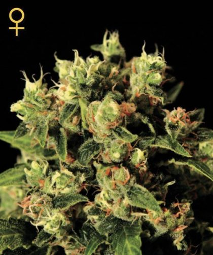 Greenhouse Seed Co. Ladyburn 1974 Feminised Seeds