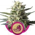 Royal Queen Seeds Lemon Haze Feminised Seeds