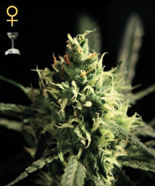Greenhouse Seed Co. Lemon Skunk Feminised Seeds
