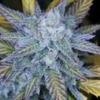 Seedsman Amnesia Regular Seeds