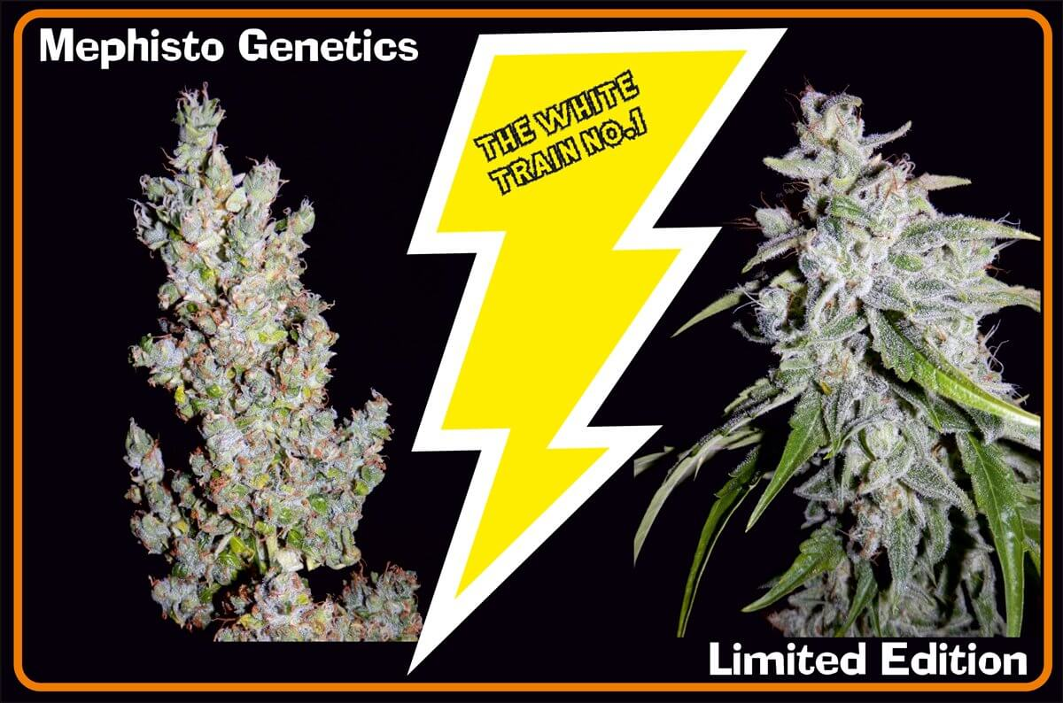 Mephisto Genetics The White Train Auto Feminised Seeds