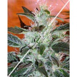 Joint Doctor Lowryder #2 Autoflowering Feminised Seeds