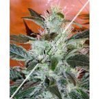 Joint Doctor Lowryder #2 Autoflowering Regular Seeds