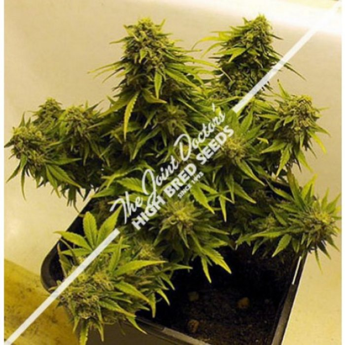 Seedsman Joint Doctor's Lowryder Mix Autoflowering Feminised Seeds