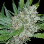 Seedsman Mama Mia Feminised Seeds